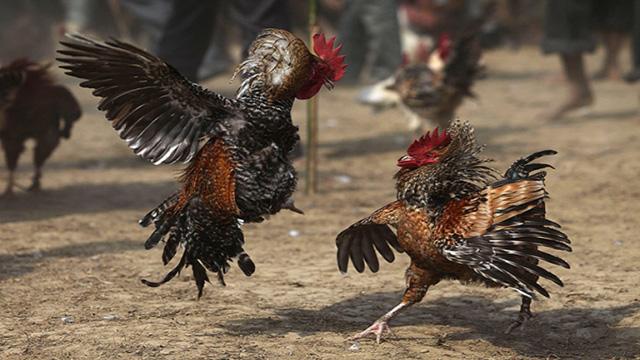 Judi Sabung Ayam Di Android