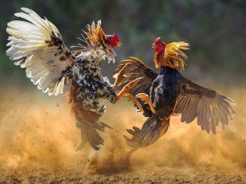 Agen Sabung Ayam Terpercaya 2019